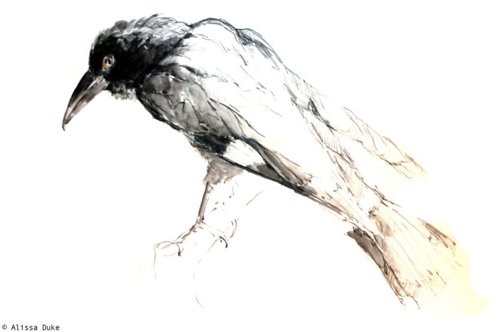 Currawong by Alissa Duke